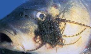 K nig der garten teiche wichtige fischkrankheiten for Teichfische arten