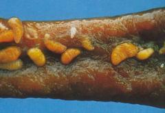 Würmer Im Fleisch